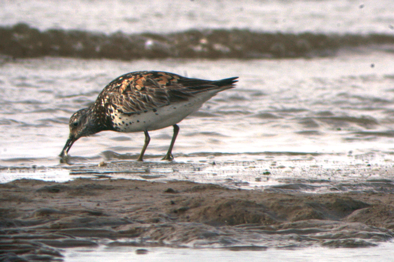 Great Knot Calidris tenuirostris