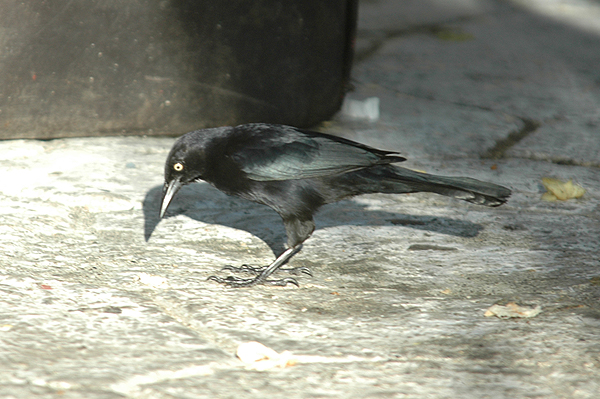Greater Antillian Grackle