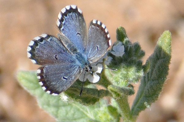 False Batton Blue butterfly