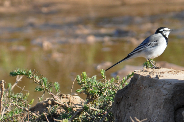 Moroccon Wagtail