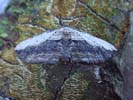 Small-waved Umber