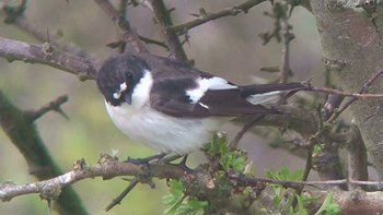Photo of Pied Flycatcher
